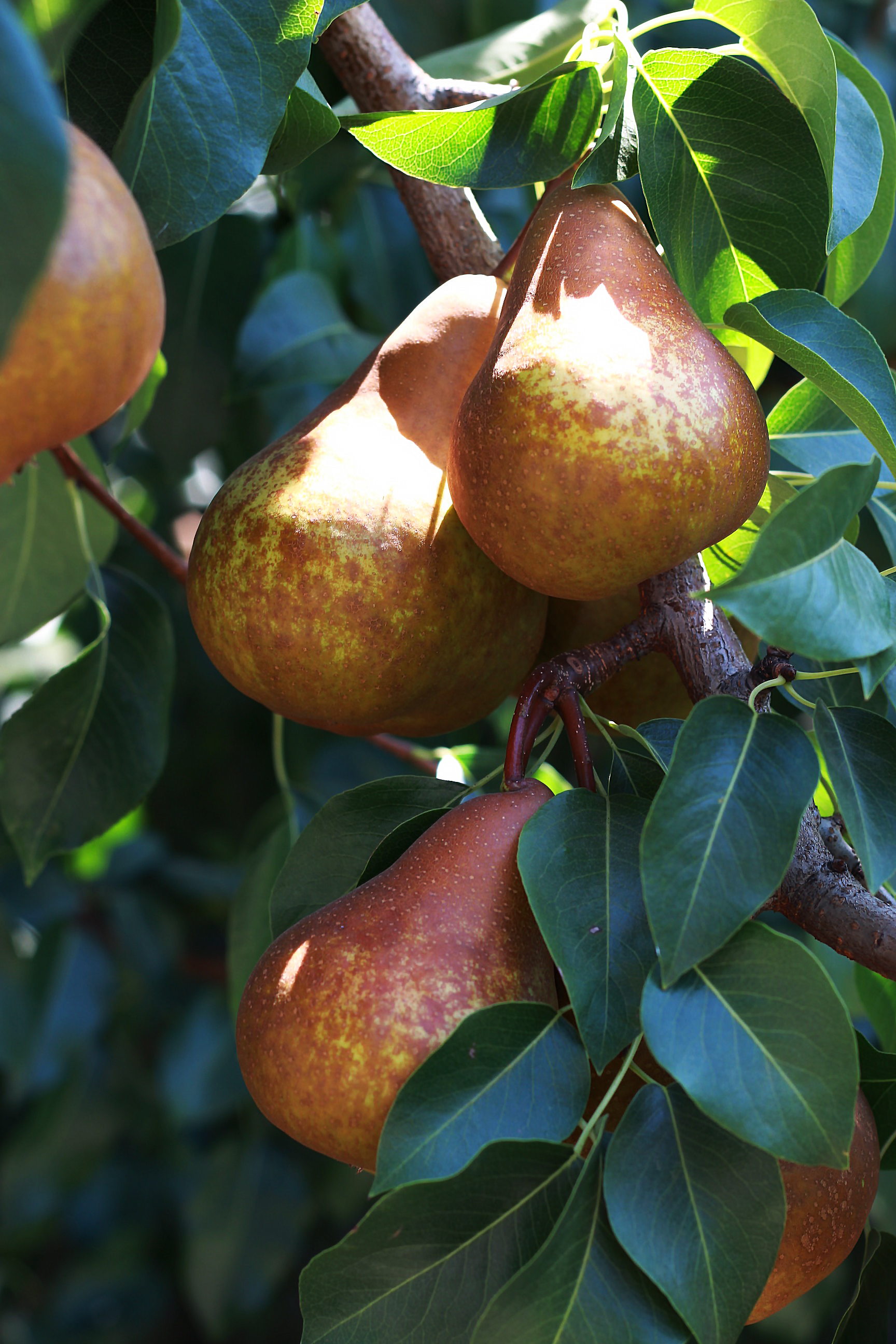 california pear farm