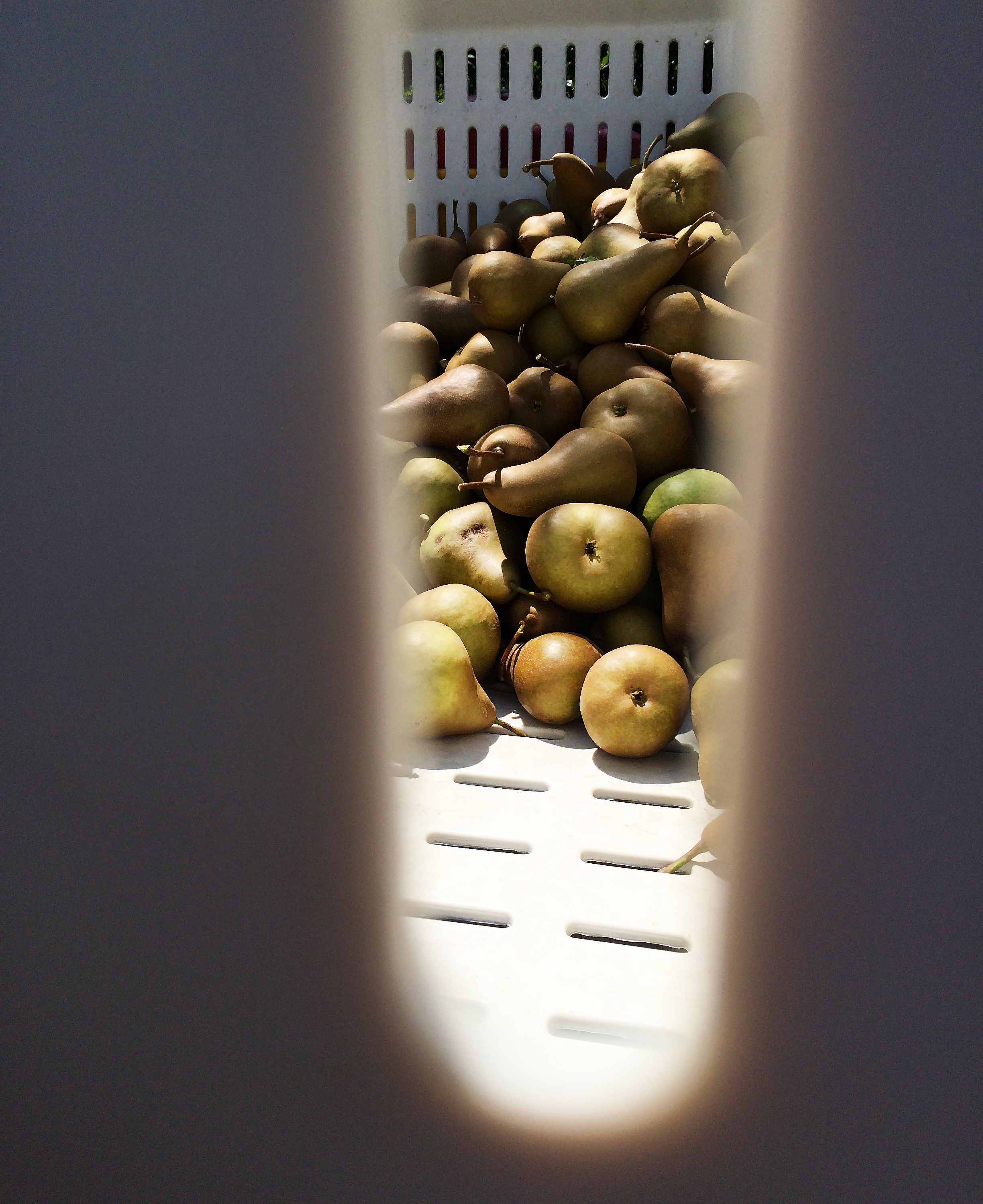 california pears peek through crate